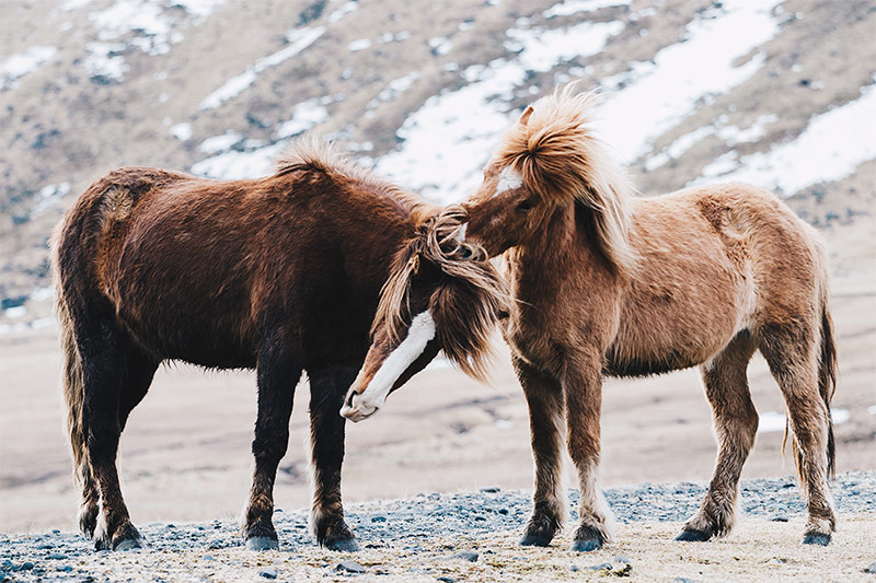 The Icelandic Horse | NORDH.ME